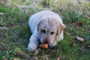 Dogs carrot image
